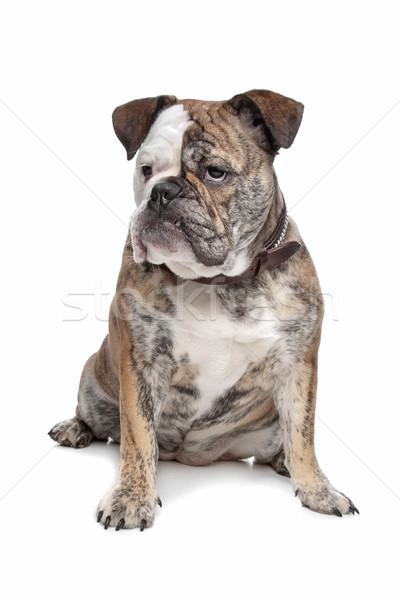 Inglés bulldog blanco estudio mascota Foto stock © eriklam