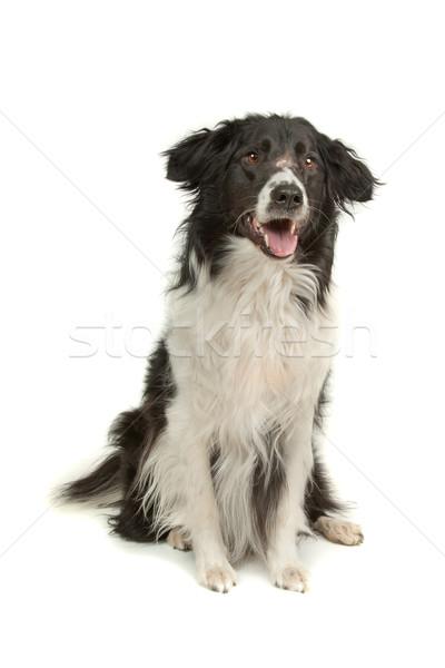 Бордер колли овчарка белый собака животного студию Сток-фото © eriklam