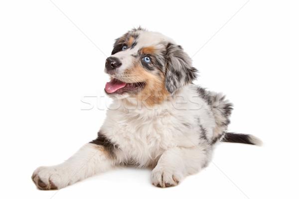 Australiano pastor blanco perro animales cachorro Foto stock © eriklam