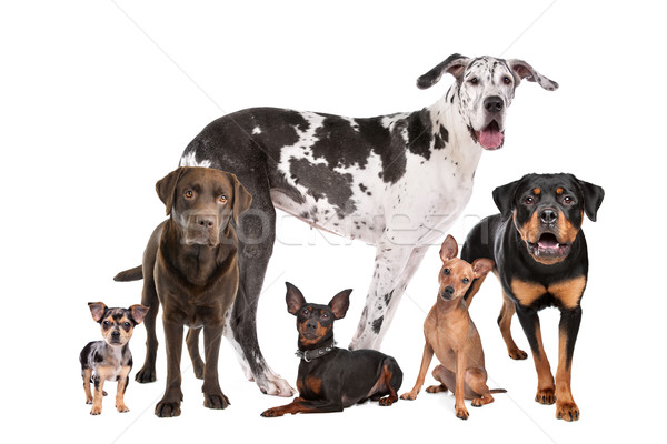 Grand groupe chiens blanche amis groupe animaux Photo stock © eriklam