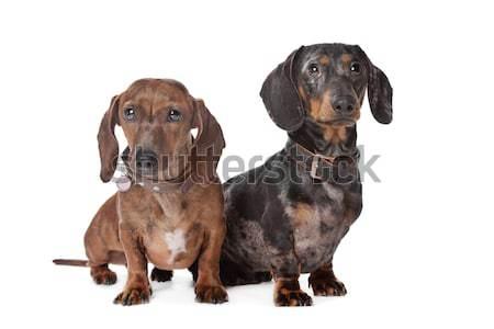 two Dachshund dogs Stock photo © eriklam