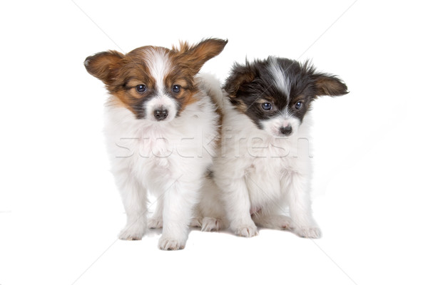 Photo stock: Deux · chiens · cute · chiots · isolé · blanche