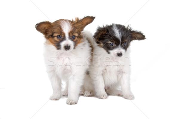 two papillon dogs Stock photo © eriklam