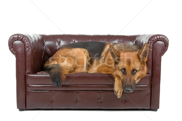羊飼い 犬 ソファ 孤立した 白 ストックフォト © eriklam