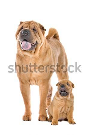 中国語 犬 成人 子犬 白 家族 ストックフォト © eriklam