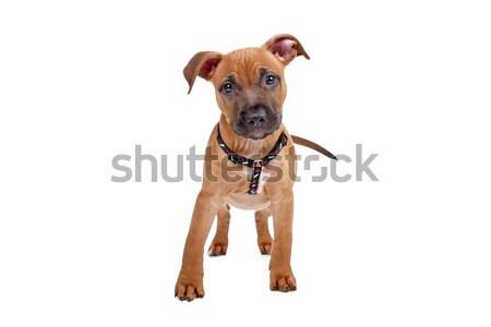 Staffordshire terrier kutya fehér izolált barna emlős Stock fotó © eriklam