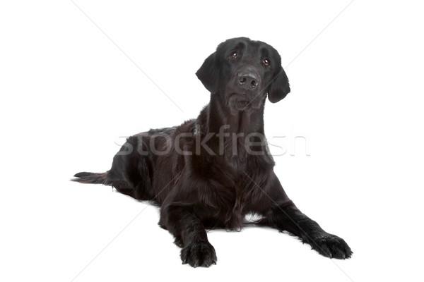 Сток-фото: ретривер · собака · черный · изолированный · белый · портрет