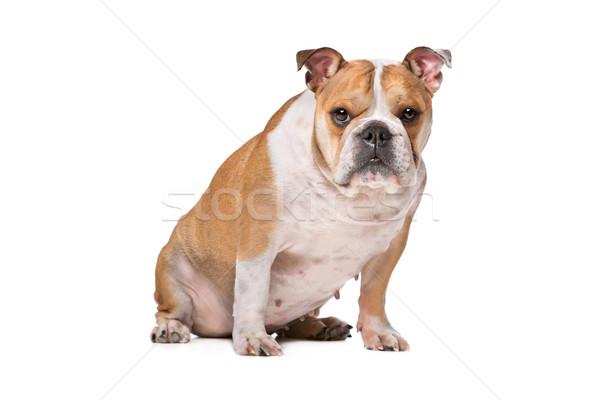 brown and white English Bulldog Stock photo © eriklam