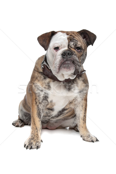 English bulldog Stock photo © eriklam