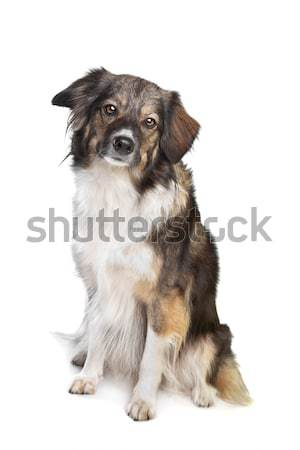 mixed breed tri-colored dog Stock photo © eriklam