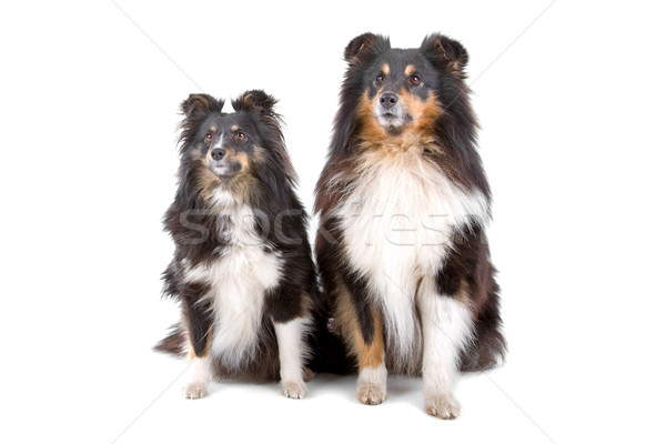two shetland sheepdogs Stock photo © eriklam