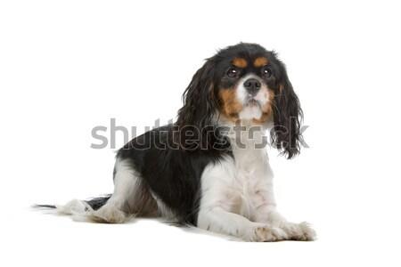 царя собака сидят изолированный белый друга Сток-фото © eriklam