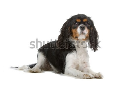 Cavalier King Charles Spaniel dog Stock photo © eriklam