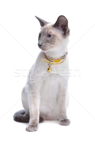 Sziámi macska fehér fehér háttér emlős Stock fotó © eriklam