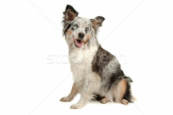 Border collie herdershond witte hond dier studio Stockfoto © eriklam