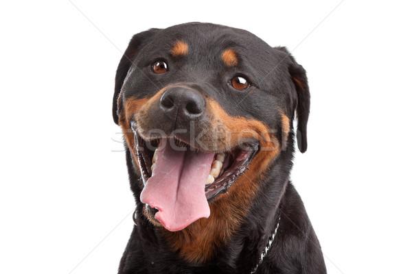Rottweiler fehér baba fekete stúdió barát Stock fotó © eriklam