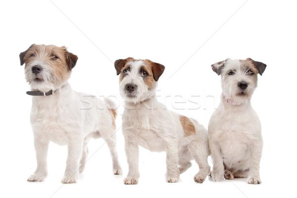 Terrier branco animal estúdio animal de estimação fundo branco Foto stock © eriklam