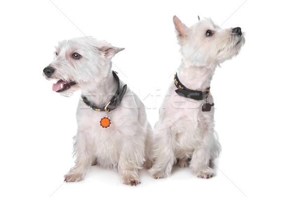 Zachód biały terier komunikacji zwierząt cięcia Zdjęcia stock © eriklam