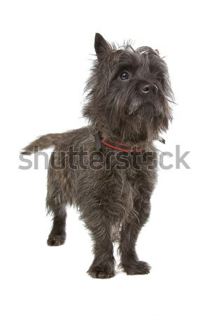 Stock photo: Cairn Terrier