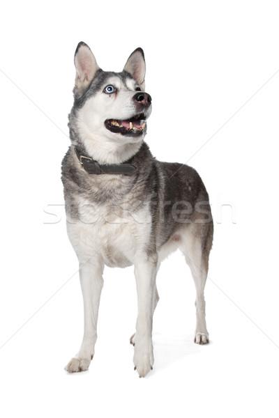 Boğuk beyaz köpek arka plan ayakta beyaz arka plan Stok fotoğraf © eriklam