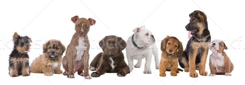 large group of puppies Stock photo © eriklam