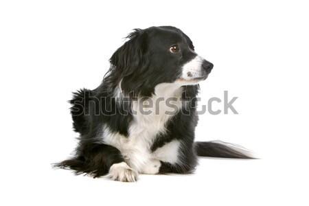 Stockfoto: Hond · zoogdier · weinig · klein · huiselijk
