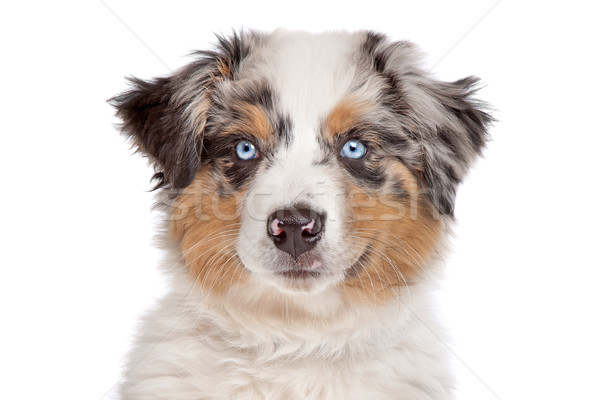 Australian Shepherd Stock photo © eriklam