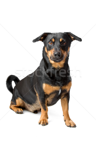 black and tan jack russel terrier dog  Stock photo © eriklam