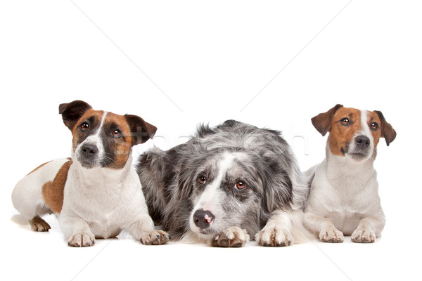 Two Jack Russel Terrier dogs and a Border collie Stock photo © eriklam