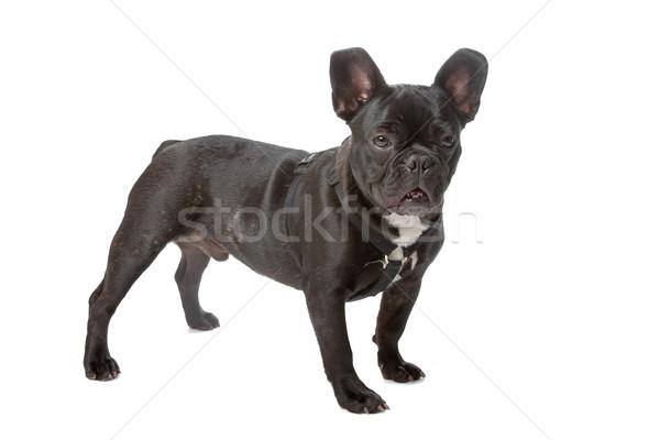 French bulldog (Frenchie) Stock photo © eriklam
