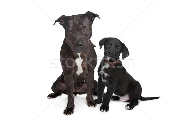 два смешанный собаки Сток-фото © eriklam