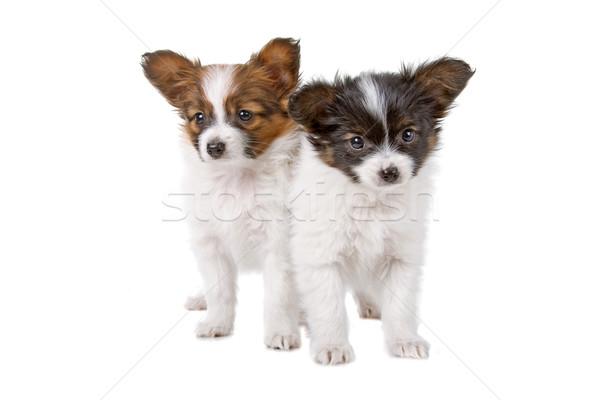 Iki köpekler sevimli yavru yalıtılmış beyaz Stok fotoğraf © eriklam