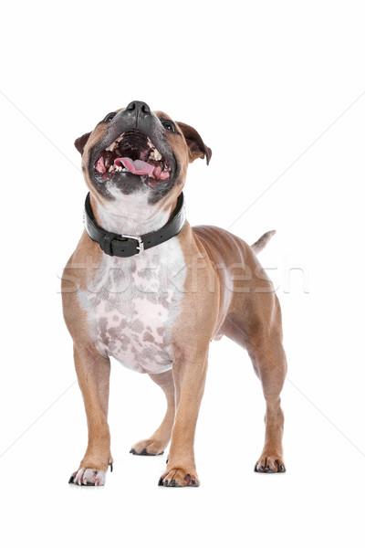 Stock photo: staffordshire bull terrier