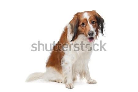 Rei cão isolado branco amigo Foto stock © eriklam