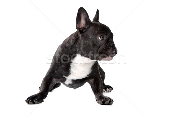Stock photo: Black and white French Bulldog