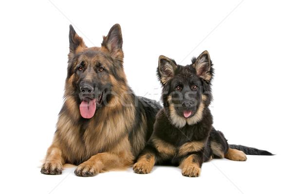 Сток-фото: пастух · собака · щенков · мнение