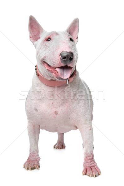 Stock photo: White Bull Terrier