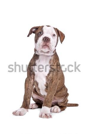 Amerikai bulldog fehér kutyakölyök erős bulldog barna Stock fotó © eriklam