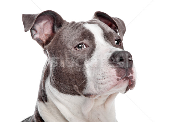 Chiot chien blanche animal fort Photo stock © eriklam