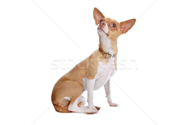 Kutya izolált fehér Stock fotó © eriklam