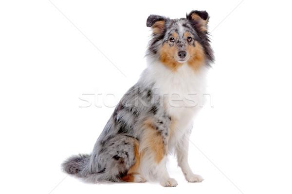 çoban köpeği köpek yalıtılmış beyaz arka plan oturma Stok fotoğraf © eriklam