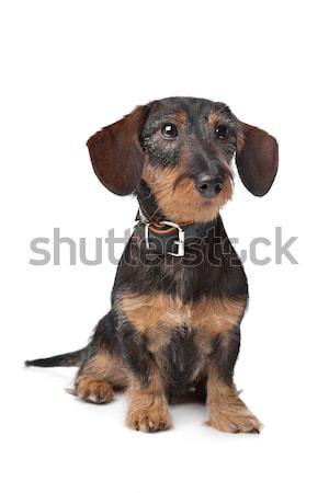 Boyero de berna cachorro blanco perro animales estudio Foto stock © eriklam