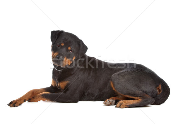 Rottweiler Stock photo © eriklam