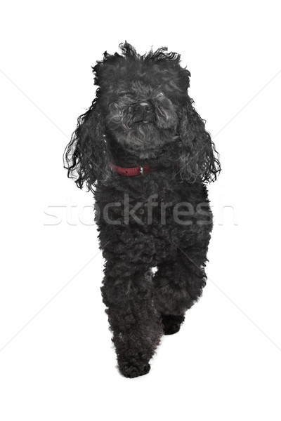 Zwarte poedel witte hond huisdier zoogdier Stockfoto © eriklam
