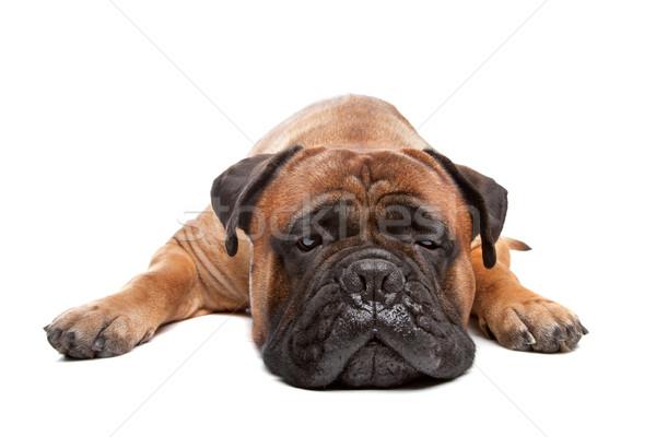 Bullmastiff Stock photo © eriklam
