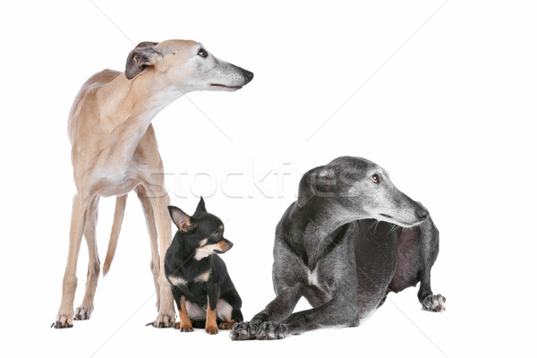 Stock photo: two greyhounds and a chihuahua