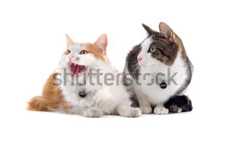 ストックフォト: 2 · ヨーロッパの · 猫 · 孤立した · 白 · 目