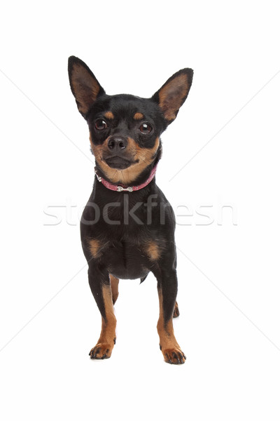 Miniature Pinscher Stock photo © eriklam
