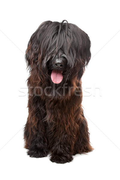 Briard , Berger de Brie, Berger Briard Stock photo © eriklam