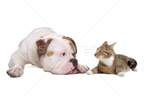 Kutya macska amerikai bulldog európai izolált fehér Stock fotó © eriklam